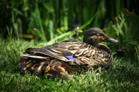 Mama duck let me get way too close. Maybe she couldn;t help but be zen in this garden?