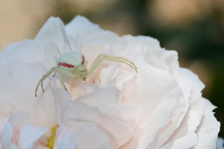 Golden Rod Crab Spider known to change its color based on if it is hanging out on a white or a yellow flower. Had to do a little research after spying this creepy lady. I can't remember ever seeing one before. Hope never to see one in my house...
