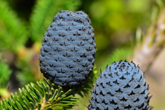 Another specimen I cannot remember seeing before with blue cones