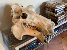 Hippo skull anyone?